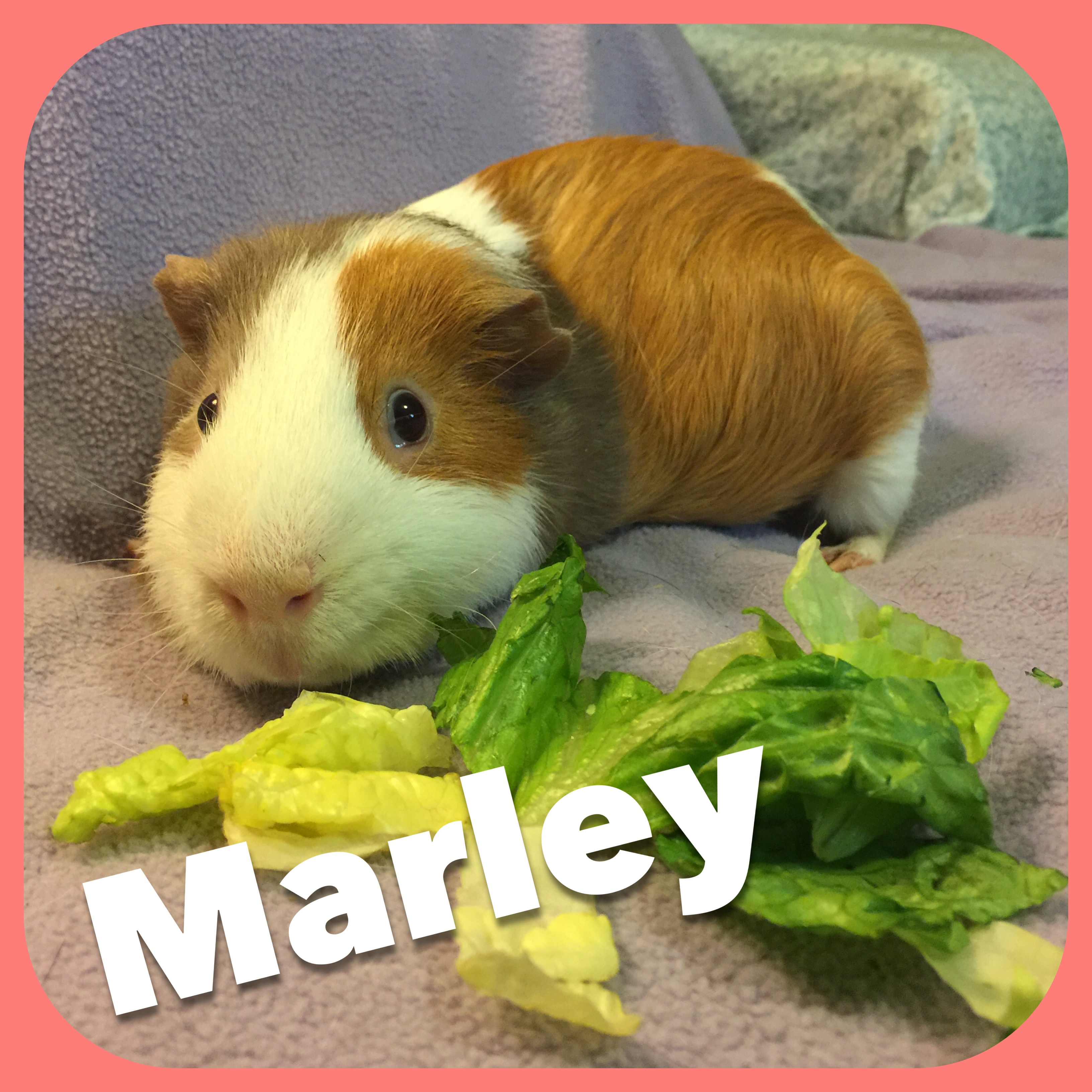 Permanent Fosters   Knoxville Guinea Pig Rescue